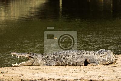 groß dreiteiliges Krokodil aus Steinguss