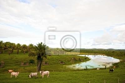 Kühe in Bahia