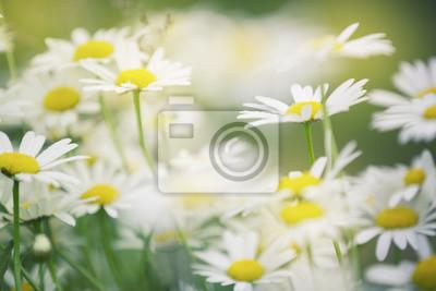 Künstlerisches sonniges Blütengänseblümchen blüht Hintergrund. Selektiver Fokus verwendet.