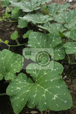 Kurbispflanze Leinwandbilder Bilder Cucurbit Sonnigen Tag