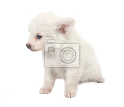 Bild Lächerlich weißen Spitz-Hund auf einem weißen Hintergrund
