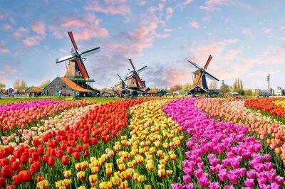 Bild Landschaft mit Tulpen in Zaanse Schans, Niederlande, Europa