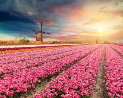Bild Landschaft mit Tulpen, traditionelle niederländische Windmühlen und Häuser in der Nähe des Kanals in Zaanse Schans, Niederlande, Europa