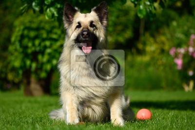Schäferhund Deutsch Hund Langhaarige Sitzt Mit BallSchöne n0O8PkXw