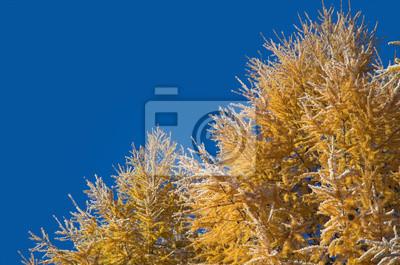 Lärche Zweige gegen den blauen Himmel