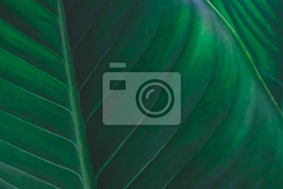 Bild Large foliage of tropical leaf with dark green texture,  abstract nature background.