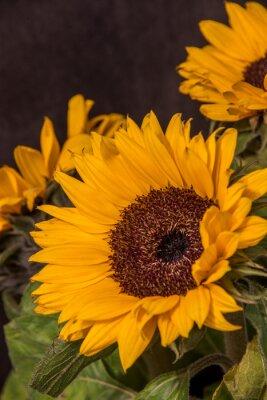 Bild Large yellow sunflower flowers on a dark background
