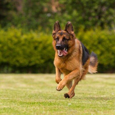 Bild Läuft Wiese Schaeferhund