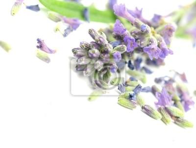 Bild Lavandula officinalis auf weißem Hintergrund
