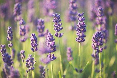 Bild Lavendel