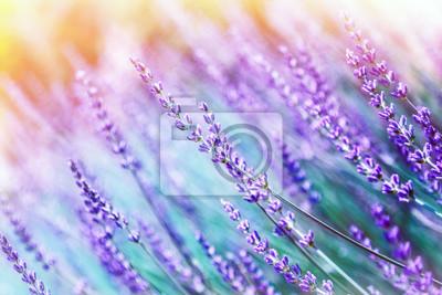 Bild Lavendel Blume Hintergrund