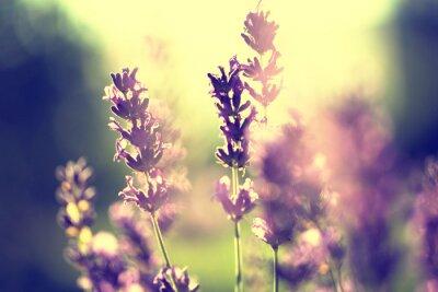 Lavendel Vintage Sonnenuntergang