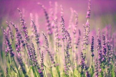 Bild Lavendelblüte