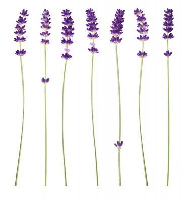 Bild Lavendelblüten