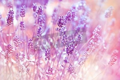 Bild Lavendelblüten im Blumengarten