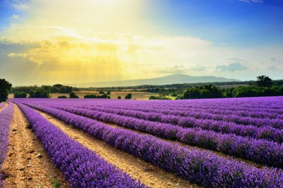 Bild Lavendelfeld