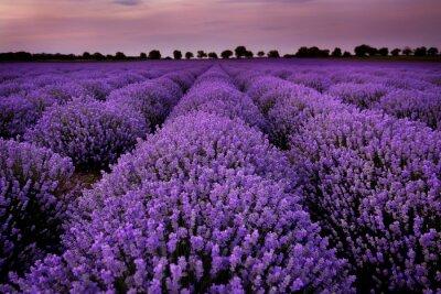 Bild Lavendelfelder bei Sonnenuntergang