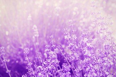Bild Lavender Mood