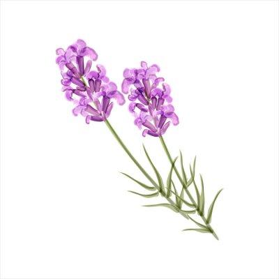 Bild Lavender. Vektor-Illustration