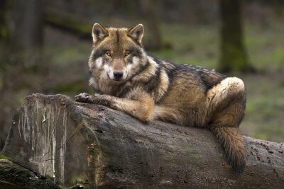 Bild Le loup gris