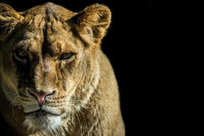 Bild Leone - Löwen
