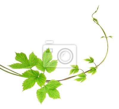 Bild Lianenpflanze