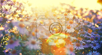 Bild Lila Astern glänzen in Sonnenlicht. Vintage Filter angewendet.