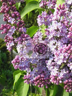Lila busch in der blüte leinwandbilder • bilder lila, Farbbild ...