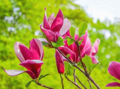 Bild Lila Magnolie Blume auf einem Zweig Hintergrund