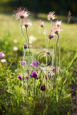 Lila pelzige Blume in der Sonne