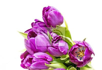Bild lila Tulpen