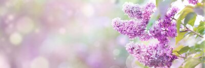 Bild Lilac flowers spring blossom, sunny day light bokeh background