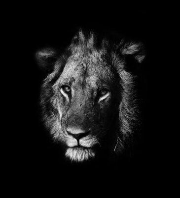 Bild lion