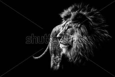 Bild lion in black and white