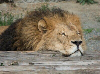 Bild Lion schlafen