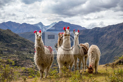 Bild Llamas on the trekking route from Lares in the Andes.