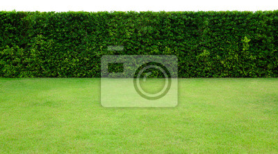 Bild Long tree hedge and green grass lawn. The upper part isolated on white background.