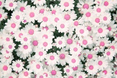 Lovely Blüte rosa Farbe Daisy Blumen Hintergrund. Schöne Aussicht von oben auf Blüte rosa Farbe Daisy Blumen Garten.