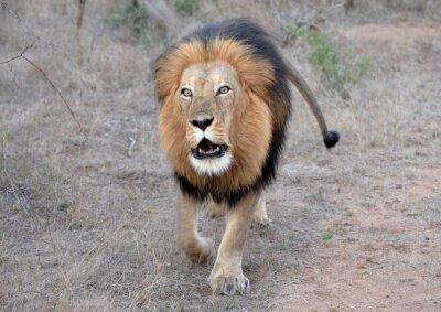 Bild Löwen brüllen