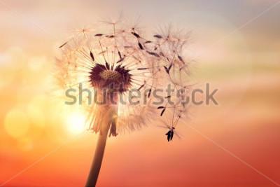 Bild Löwenzahnschattenbild gegen Sonnenuntergang mit den Samen, die im Wind durchbrennen