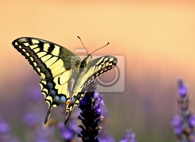 Bild machaon sur fond Orange