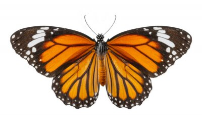 Bild Macro of butterfly isolated on white background, Danaus chrysippus, top view