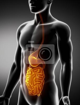 Magen und darm männlichen anatomie anterior röntgenbild ...