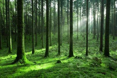 Magic sunlight in green mossy conifer tree forest landscape.