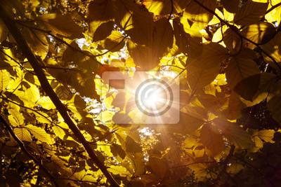 Magical sun rays through gold colored autumn season leaves.