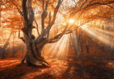 Magischer alter Baum mit Sonnenstrahlen am Morgen. Erstaunlicher Wald im Nebel. Bunte Landschaft mit nebligen Wald, Gold Sonnenlicht, rotes Laub bei Sonnenaufgang. Feenwald im Herbst. Herbstwälder. Ve