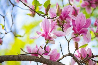 Bild Magnolia Blumen im Park