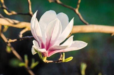 Bild Magnolia Blumen im Sonnenlicht