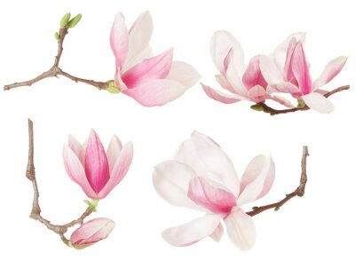Bild Magnolia flower twig spring collection on white, clipping path