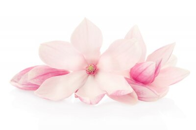 Bild Magnolia, pink flowers and buds group on white, clipping path